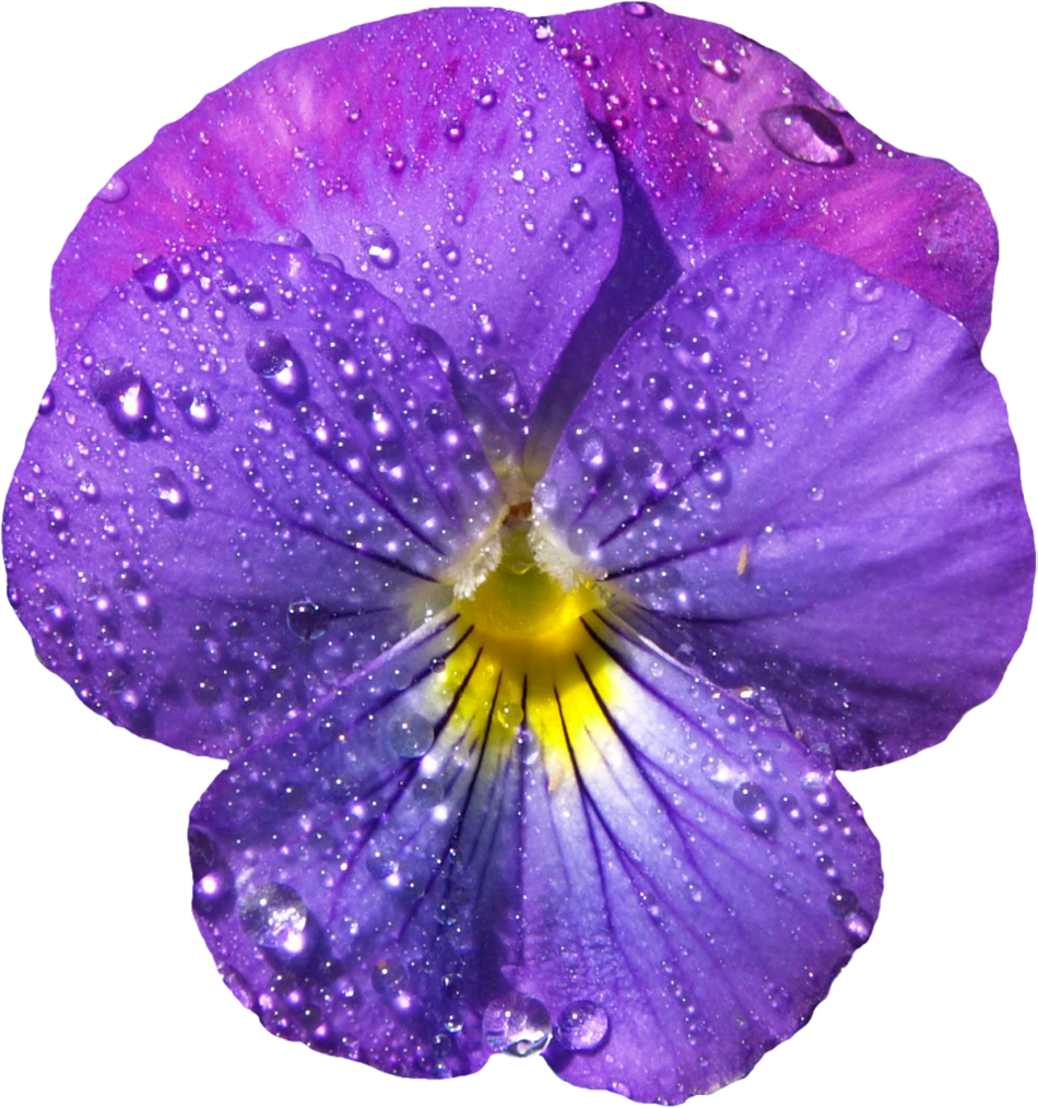 Violet flower png. With dew clipart gallery