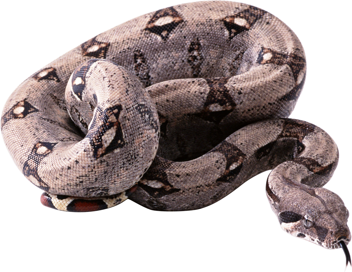 Viper snake png. Vipers free names