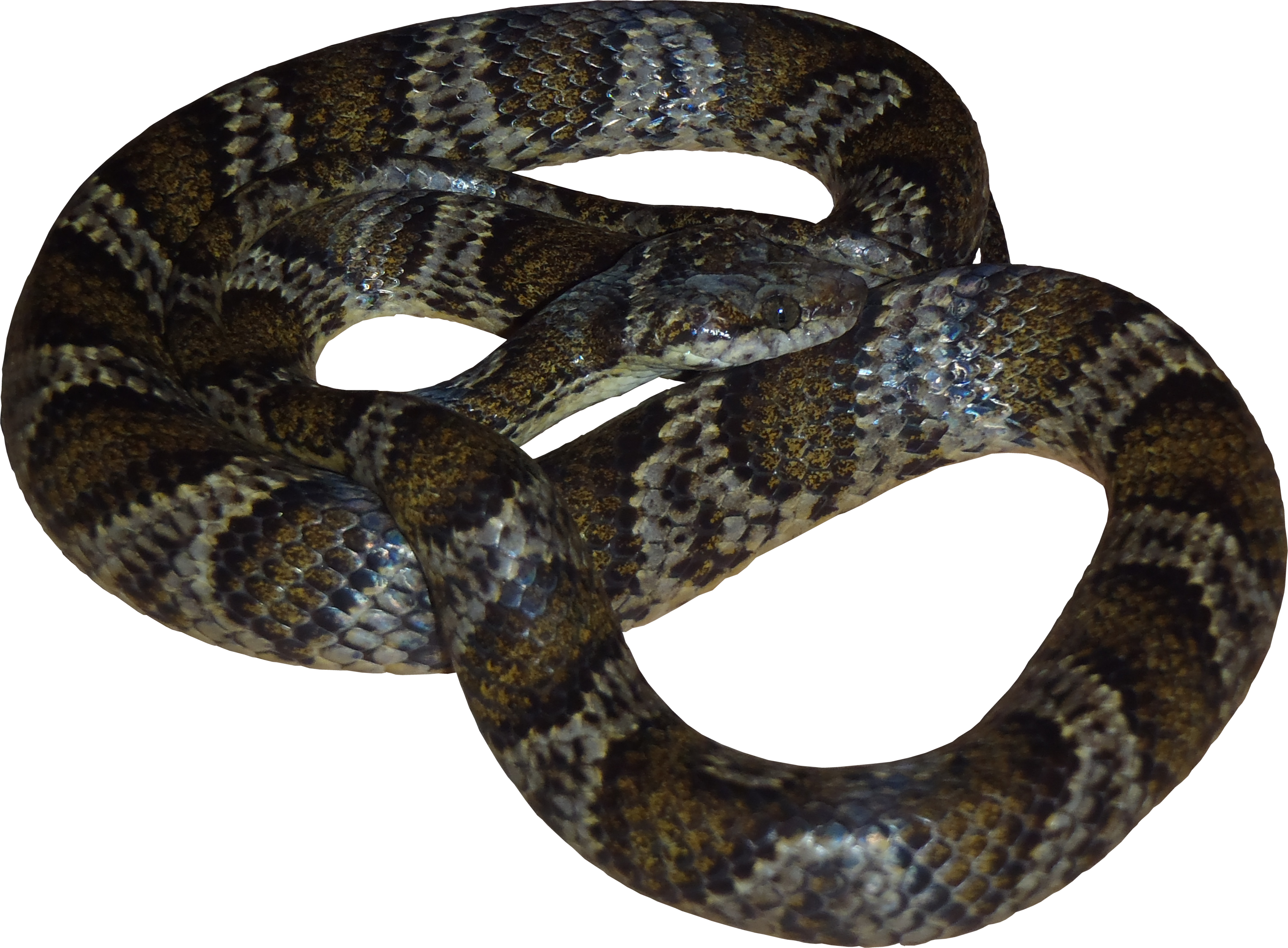 Viper snake png. High quality fauna textures