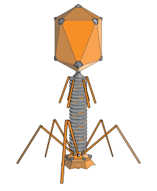 Bacteria png evil. Bacteriophage wikipedia