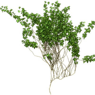 Wall ivy png. Vines transparent pictures free