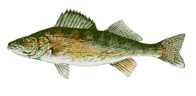 Walleye vector large mouth bass. Free cliparts download clip