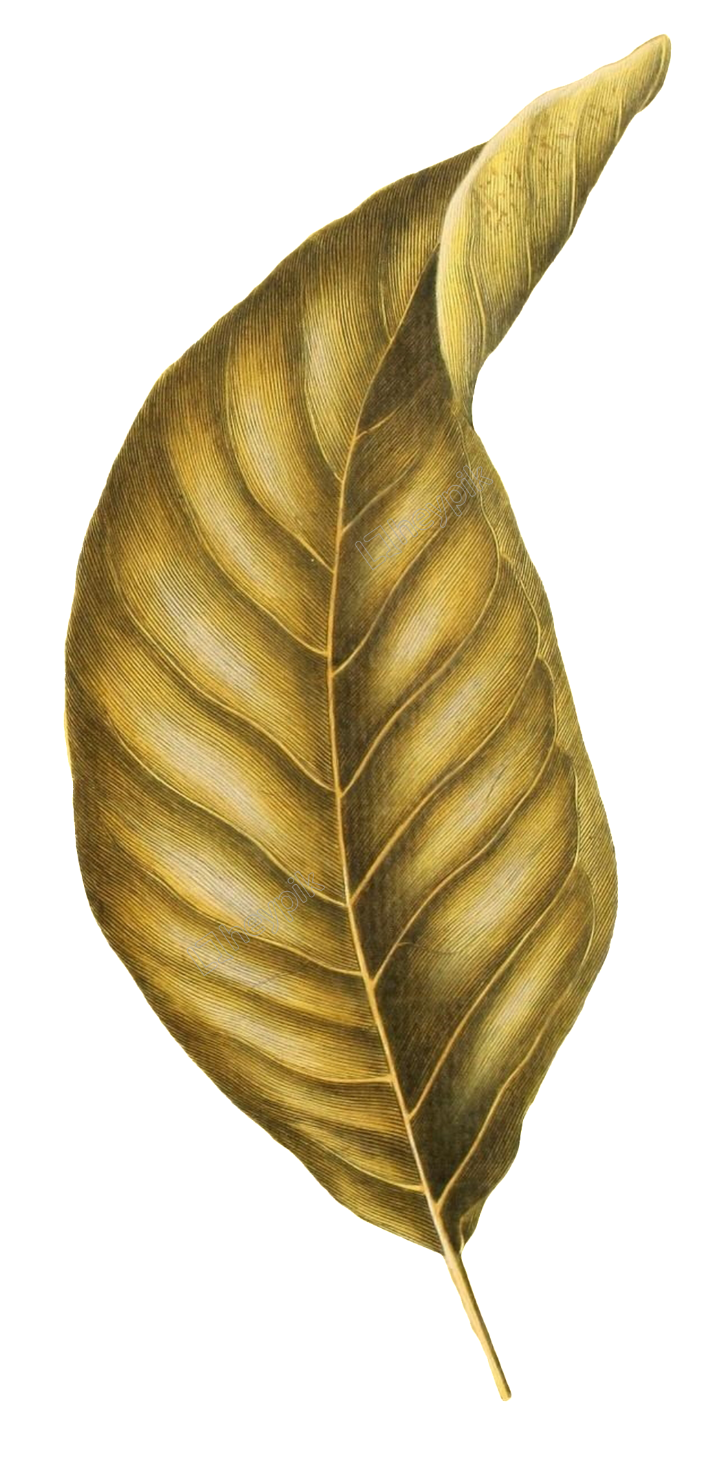 Walnut vector. Hand painted realistic large
