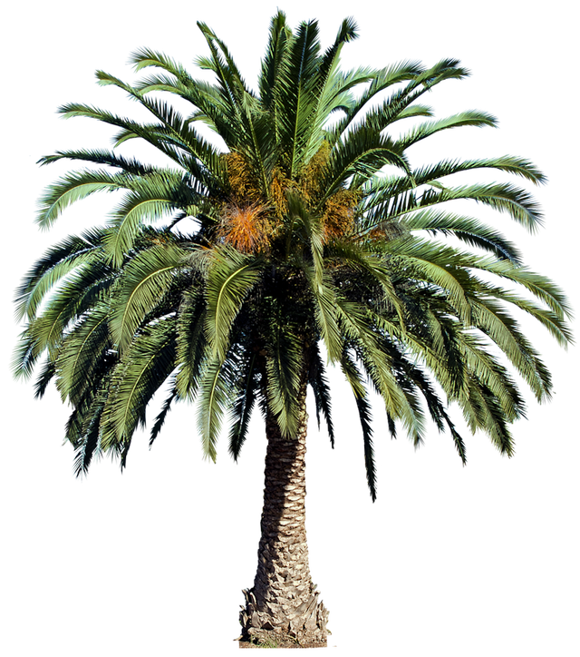 Washingtonia palm tree png. Images free cutouts