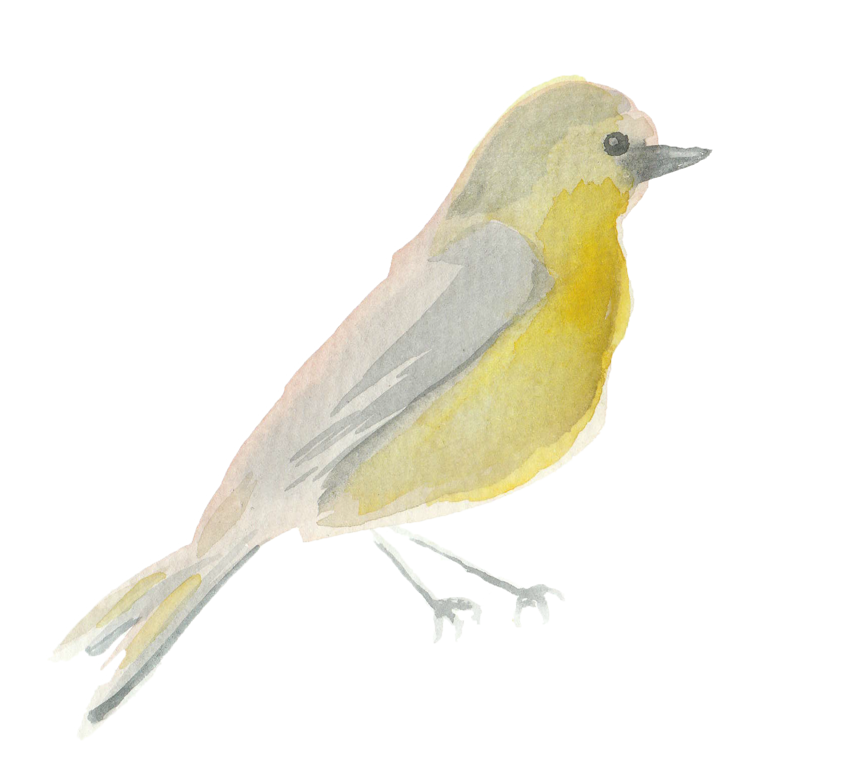 Water color bird png. Olivia bennett spring watercolor