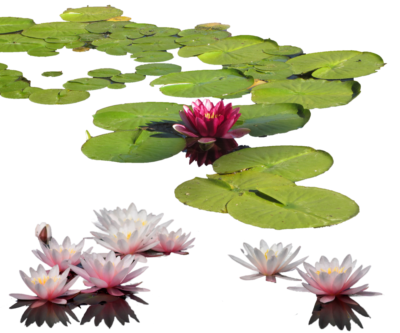 Water flower png. Lily transparent images all