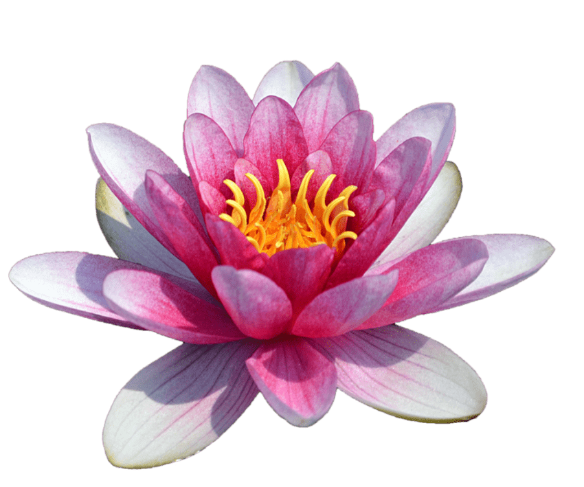 Lily transparent waterlily. Water png free images