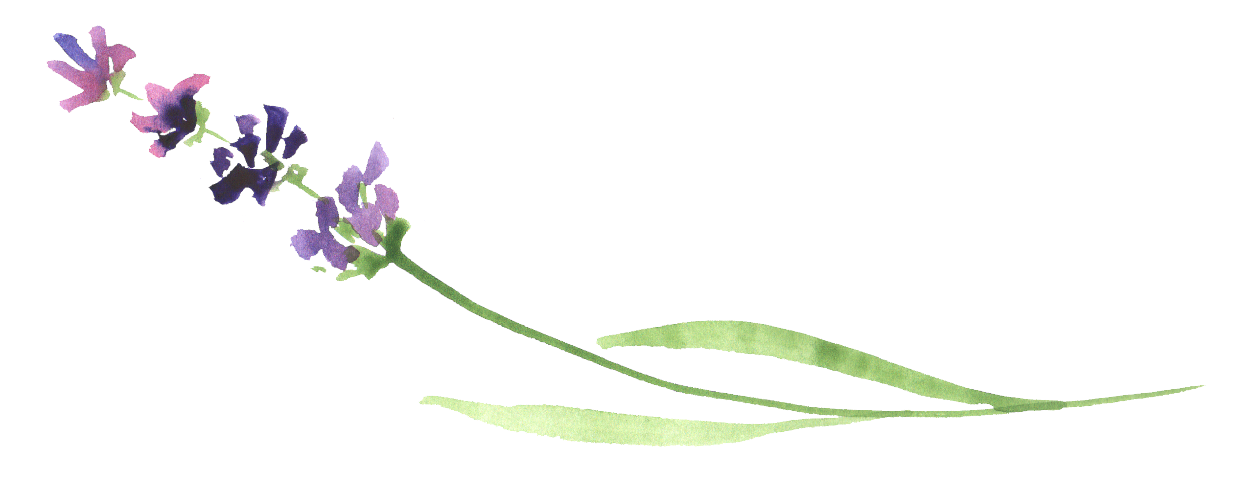 Watercolor lavender png. Ftestickers flower report abuse
