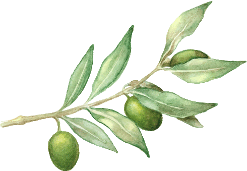 Watercolor olive branch png. Leaf extract island nutrition