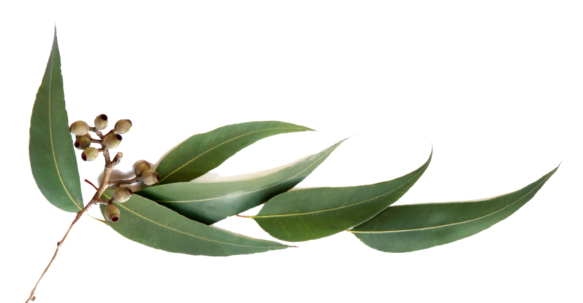 eucalyptus leaves png