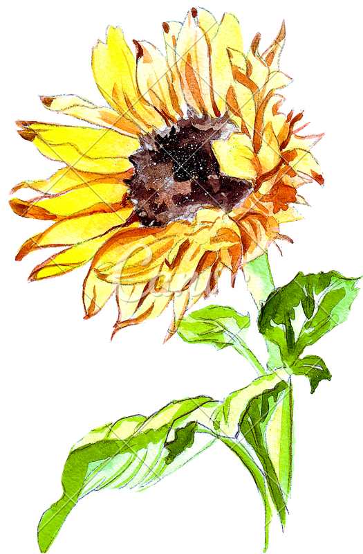 Watercolor sunflower png. Hand drawing of a