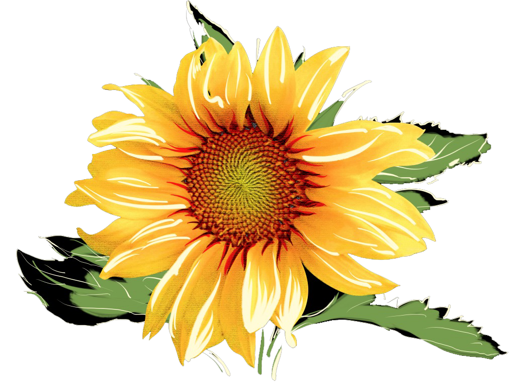 Watercolor sunflower png. Common painting sunflowers transprent