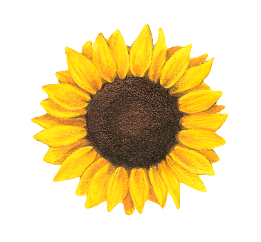 Watercolor sunflower png. Drawing tumblr google search