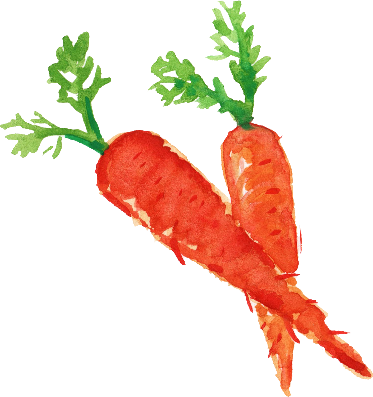Vector vegetables radish. Watercolor carrot png transparent