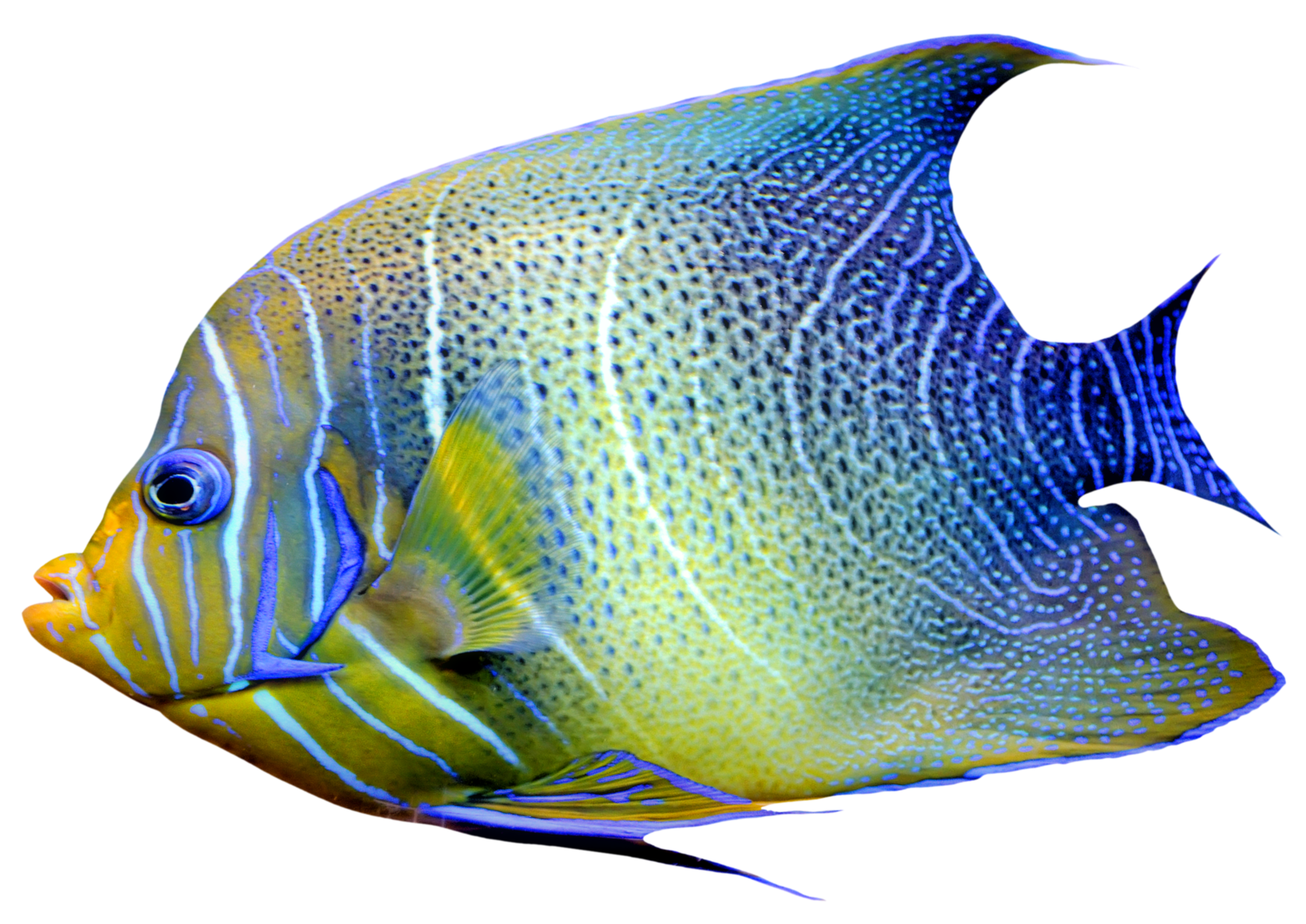 Web clipart realistic. Fish blue and yellow