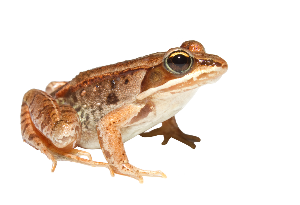 Wednesday frog png. By kasirun hasibuan on