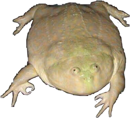Wednesday frog png. See owo meme maker