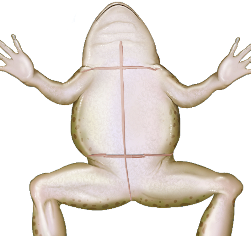 Wednesday frog png. Pics for virtual dissection
