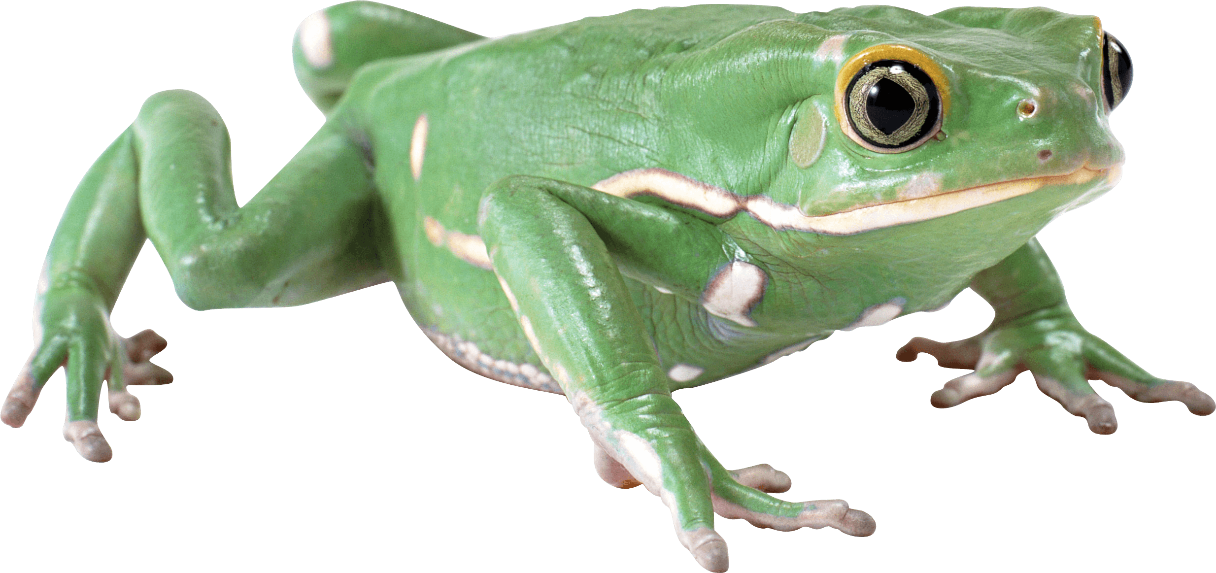 Wednesday frog png. Green image purepng free