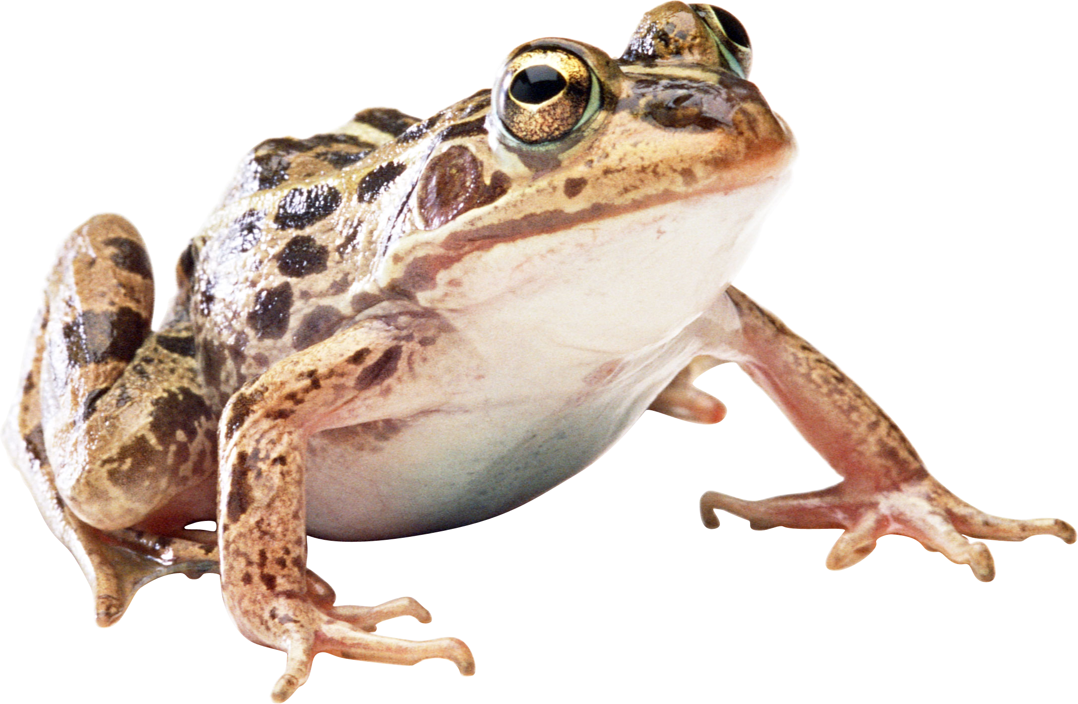 Wednesday frog png. Download image sb b
