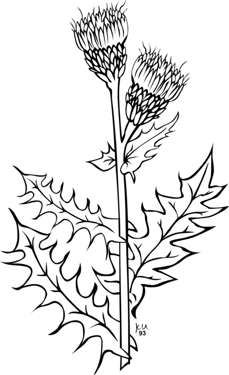 Coloring book thistle drawing. Weed clipart vector transparent stock