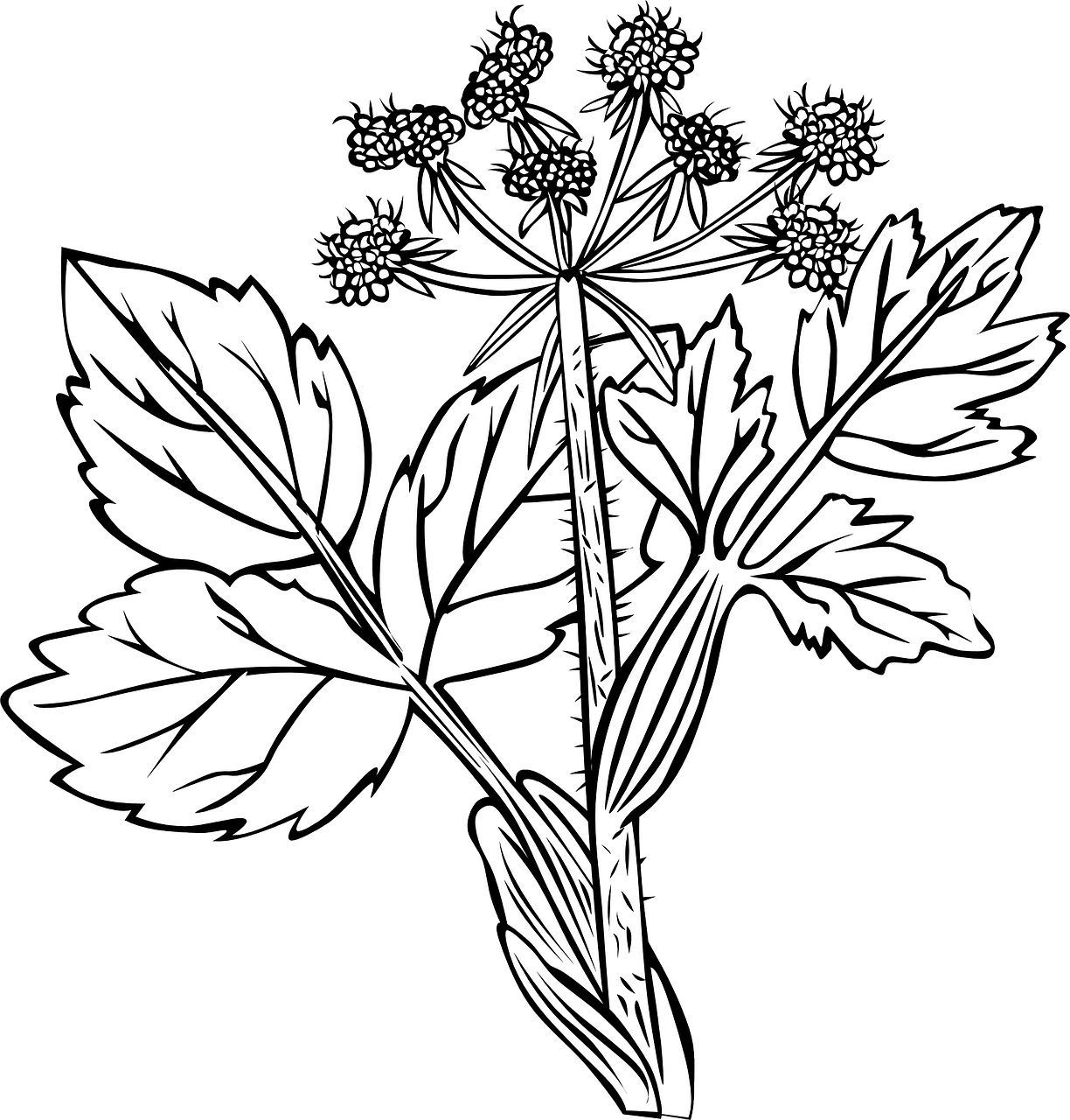 Weeds drawing nature. White snakeroot plant flowers