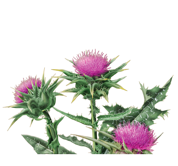 Weeds drawing thistle. Free download clip art