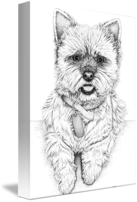 Westie drawing. By paul stratton