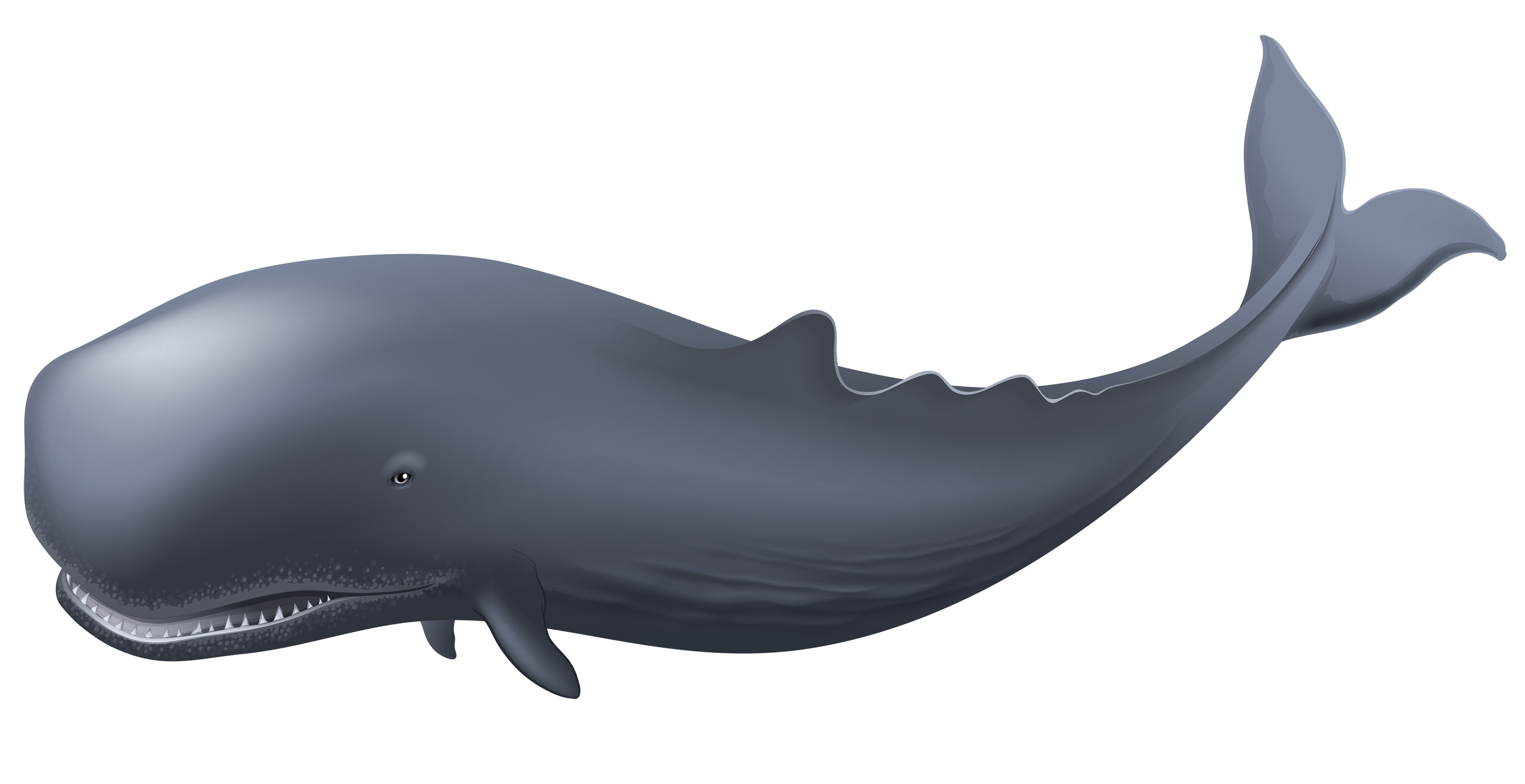 Transparent whale. Png clipart best web