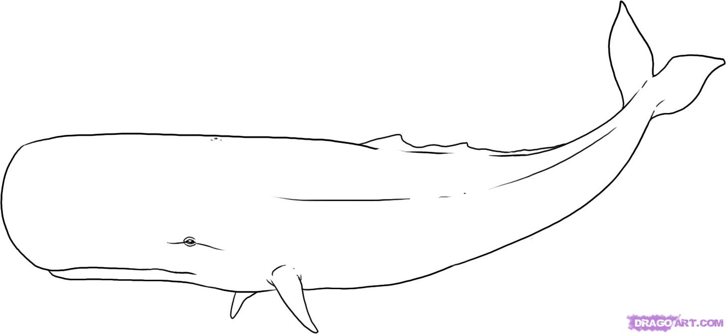 Whale clipart sperm whale. Drawing of a how