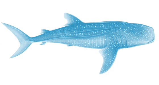 whale shark png