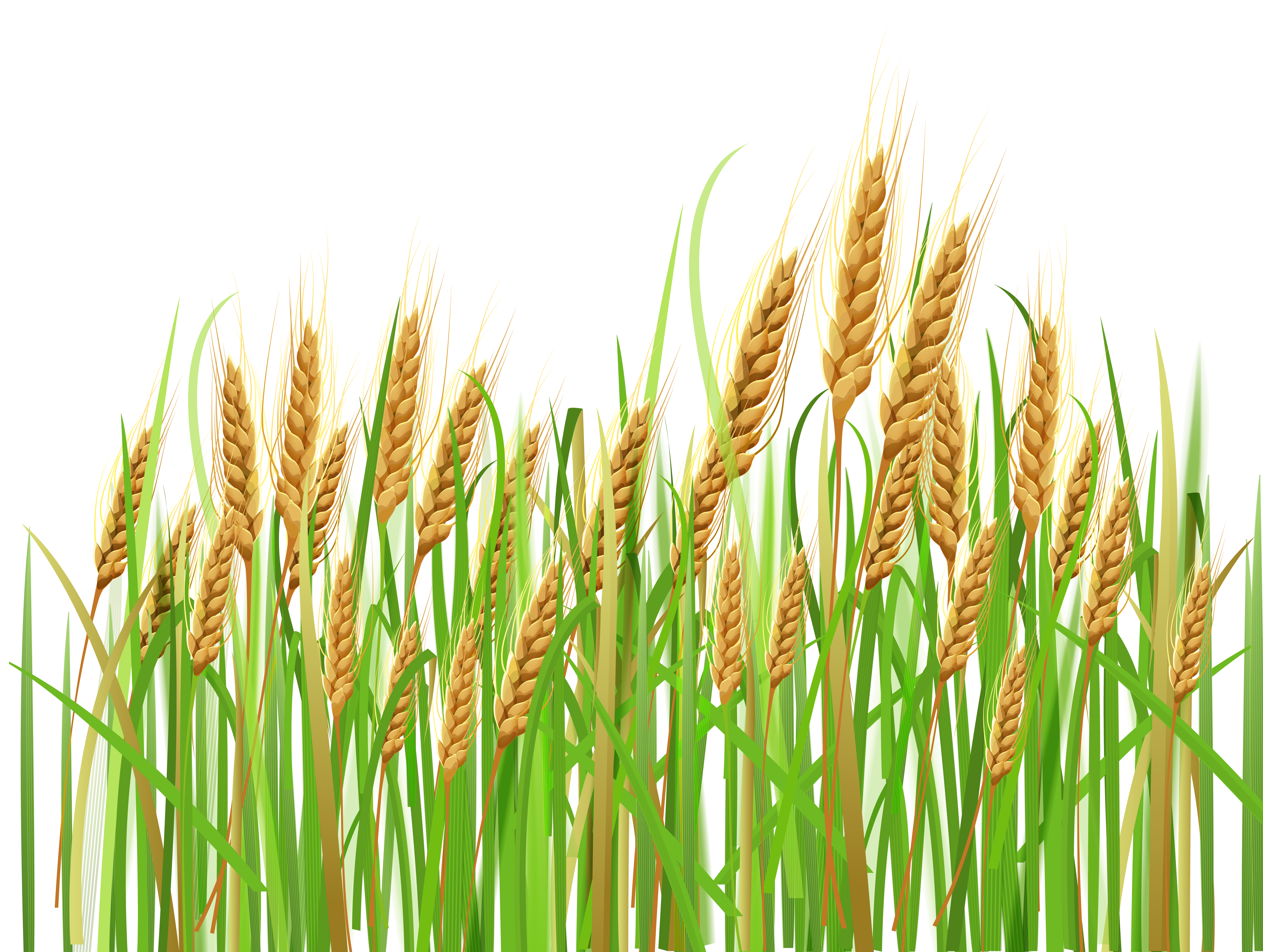 Cash clipart cash crop. Ears of wheat png