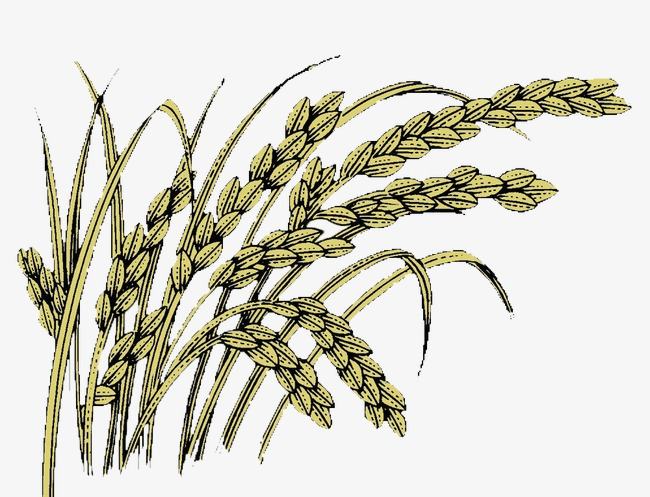Wheat clipart wheat plant. Drawing at getdrawings com