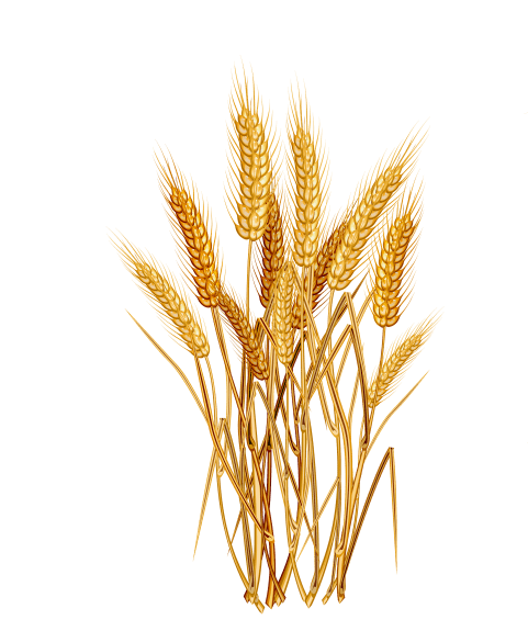 Grain plant png. Download wheat images background