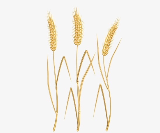 Wheat clipart wheat straw. Three golden png image