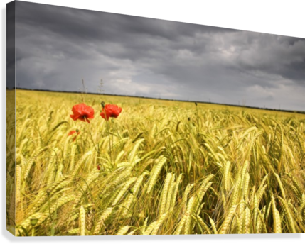 Wheat field png. Two red poppies in