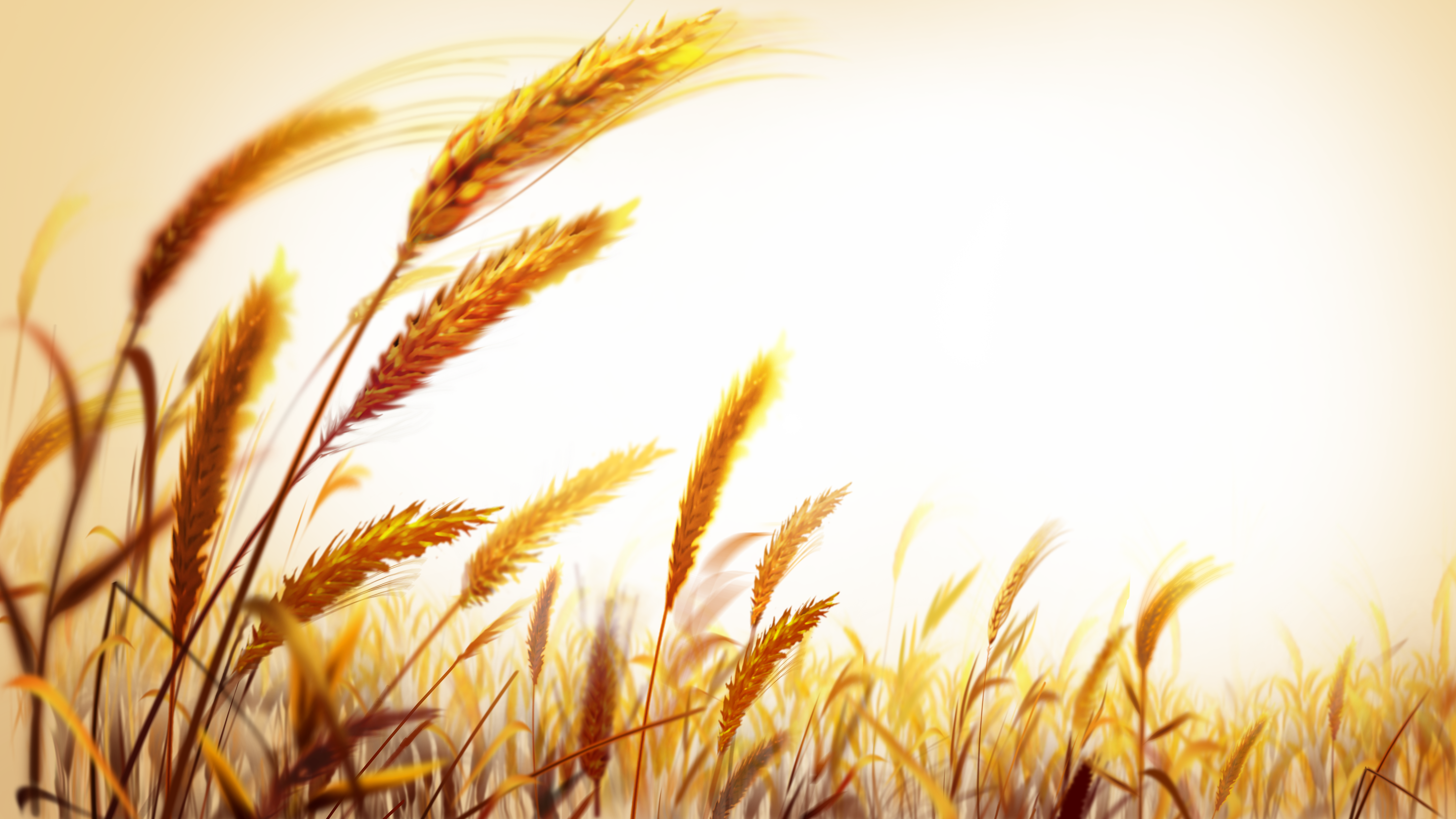 Wheat field png. Wallpaper beautiful golden transprent