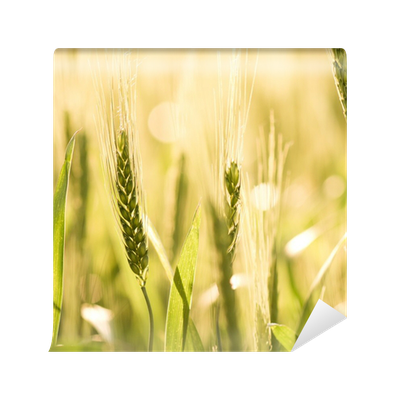 Wheat field png. Wall mural pixers we