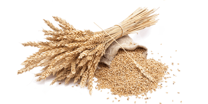 Wheat png. Free images toppng transparent