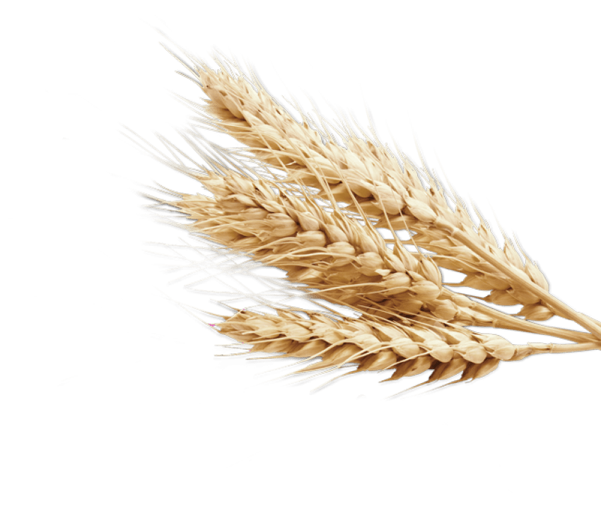 vector wheat
