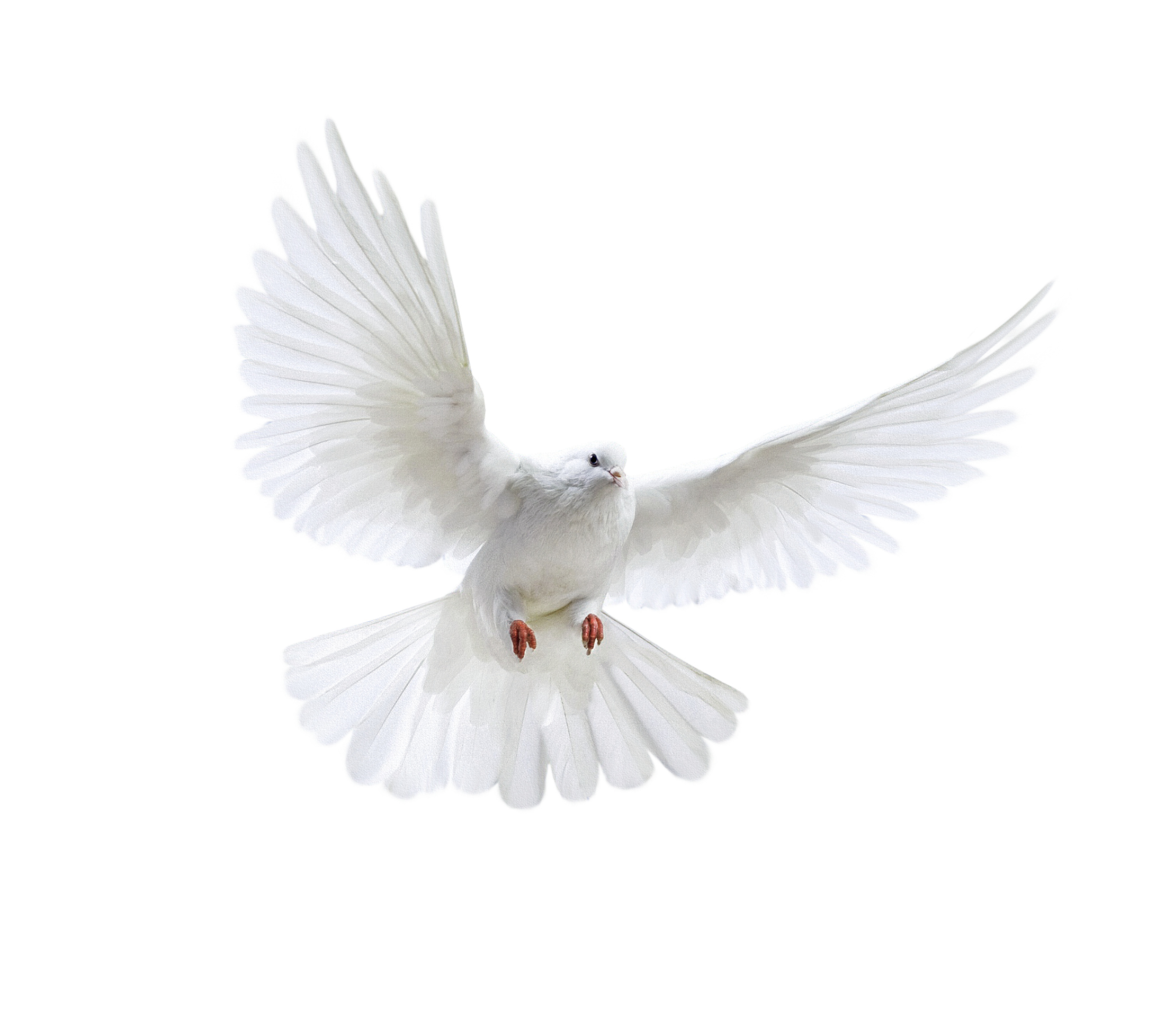 Dove png. Pigeon images free pictures