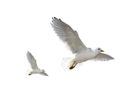 White bird png. Birds by lg design