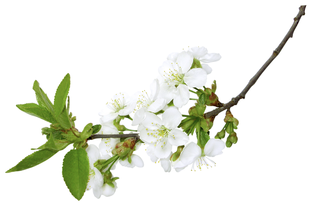White branch png. Spring clipart picture gallery