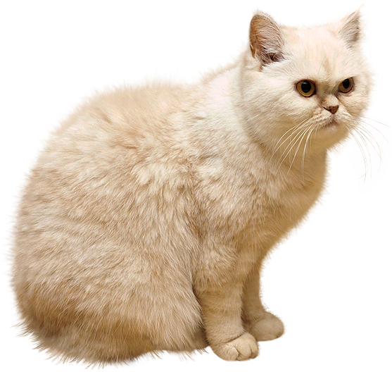White cat png. Picture gallery yopriceville high