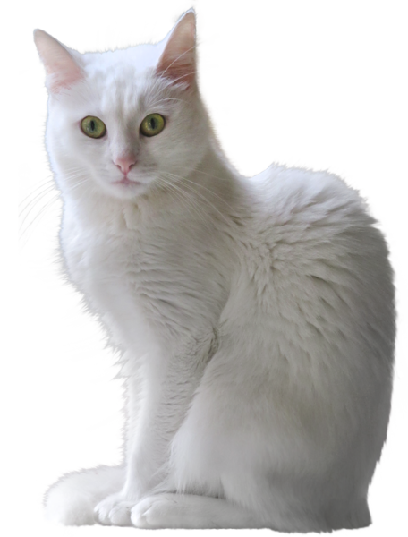 White Kitten Transparent PNG Clipart