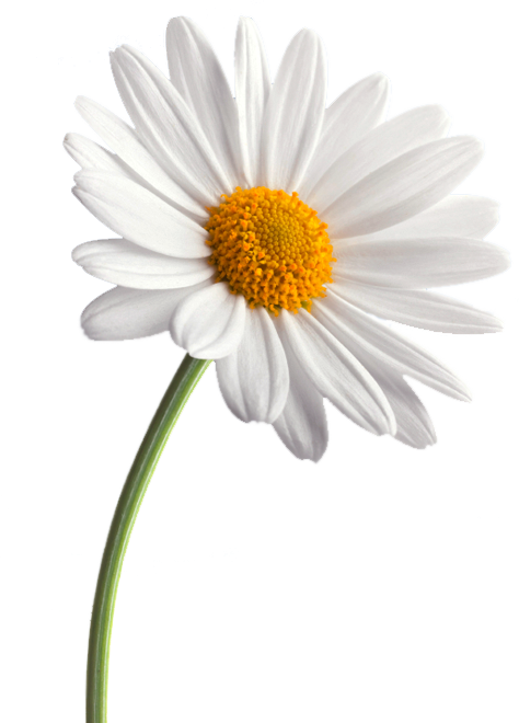White daisy png. Background images all hd