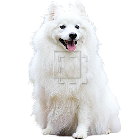 White dog png. Fluffy parent category animals