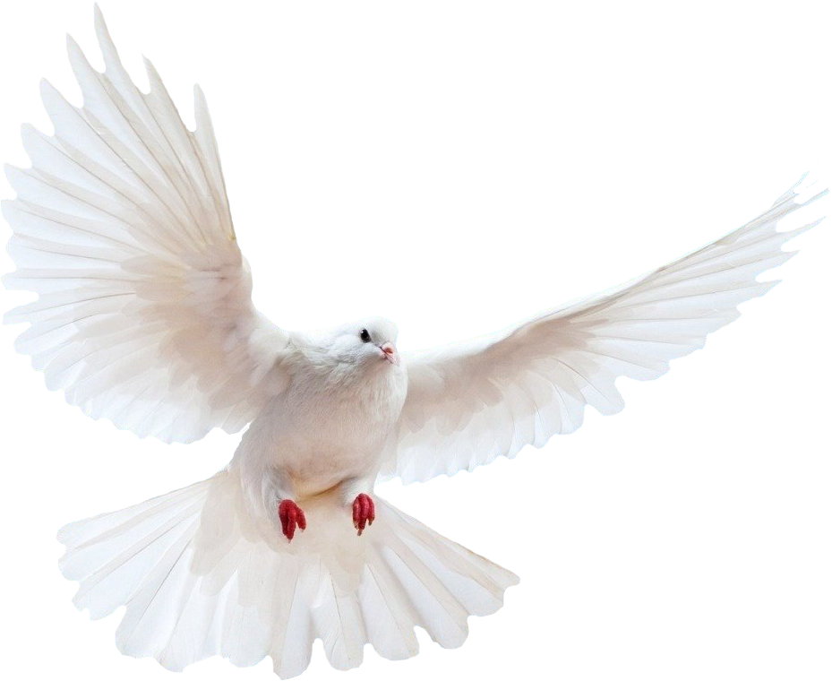White dove png. Transparent pictures free icons