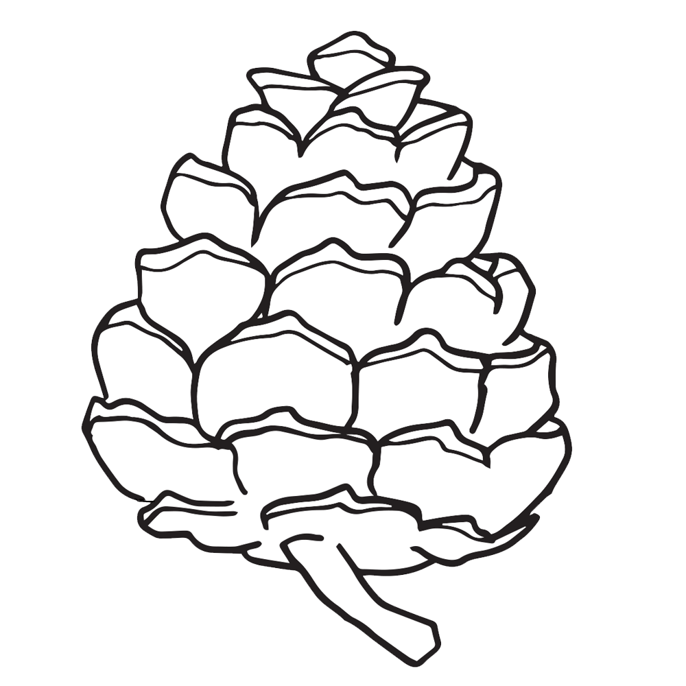 White drawing pine cone. Drawn simple pencil and