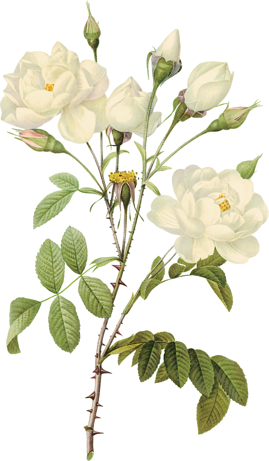 White flower branch png. Roses image purepng free